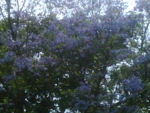 jacaranda-blossom-by-jaime-ramirez1